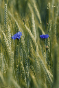June; Blue treasures hiding in the grain field