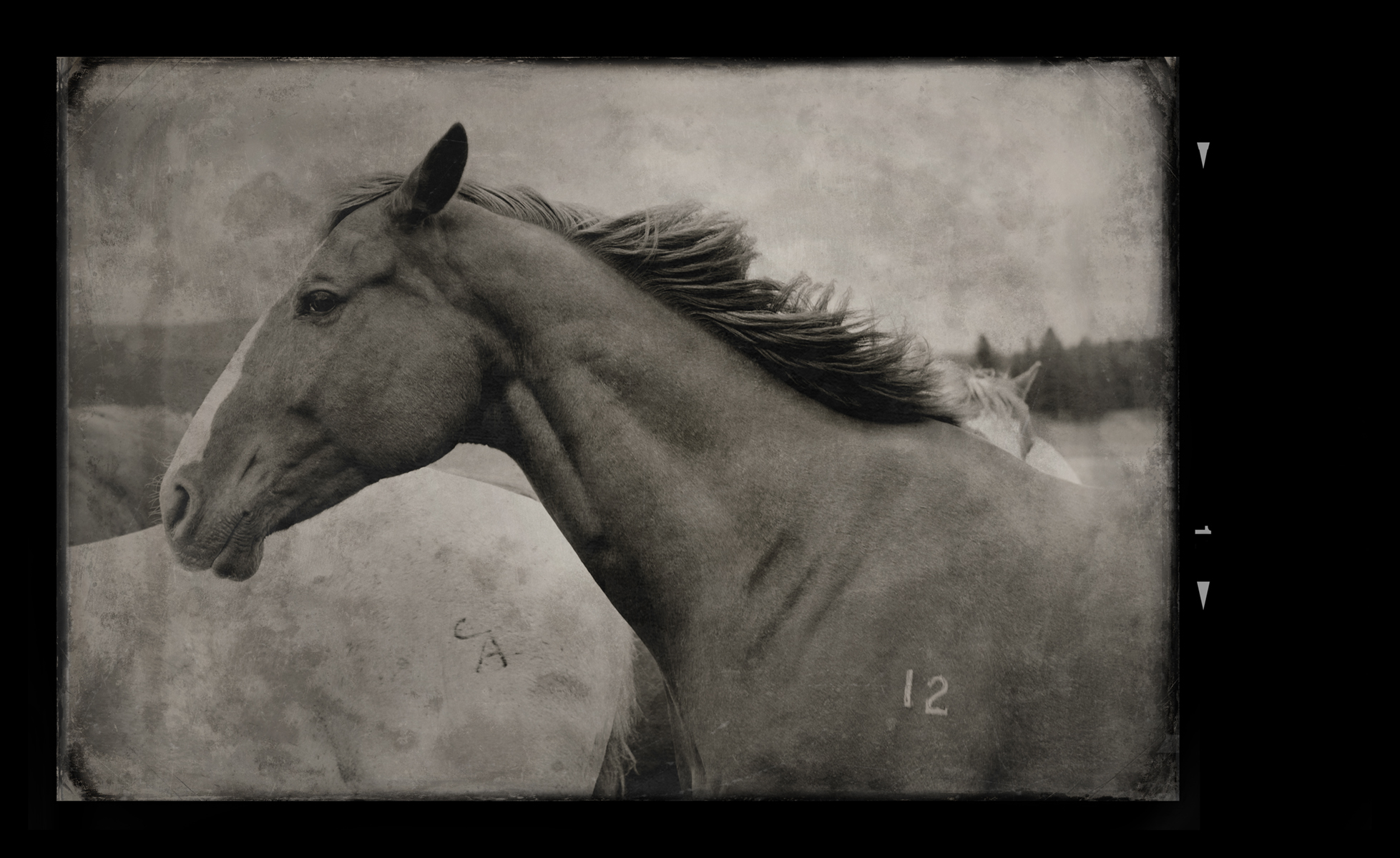 Horse with 12 branding Montana 2012