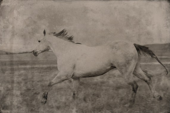 Dapple Grey Horse Running Montana 2012