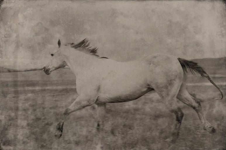 Dapple Grey Horse Running Montana 2012