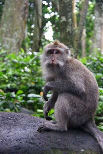 Monkey, Monkey Forest, Ubud, Bali