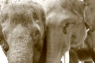Elephants in Love, Elephant Safari Park, Bali, Indonesia
