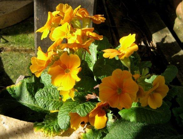 theinfillclicks - garden photography - springtime-primula light and shade