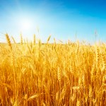 Farmers Fault FG's Claim On Wheat Production