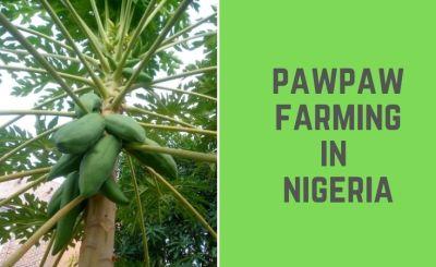 Pawpaw farming in Nigeria