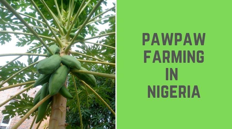 Paw paw Farming in Nigeria