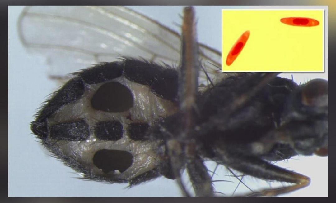 These Flies TURNS into 'zombies', scientists discover