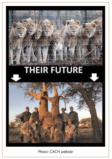 Canned Lion hunting imagery