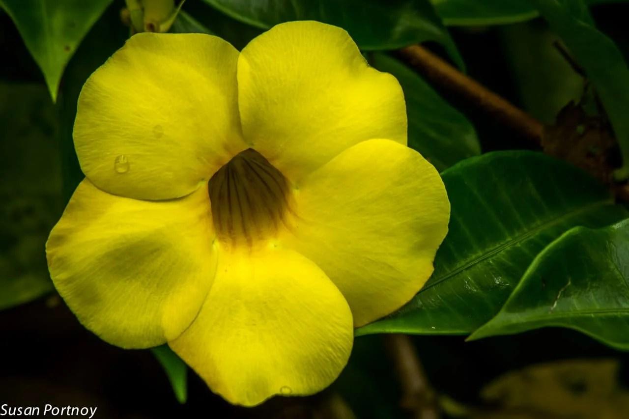 Yellow allamanda in Costa Rica