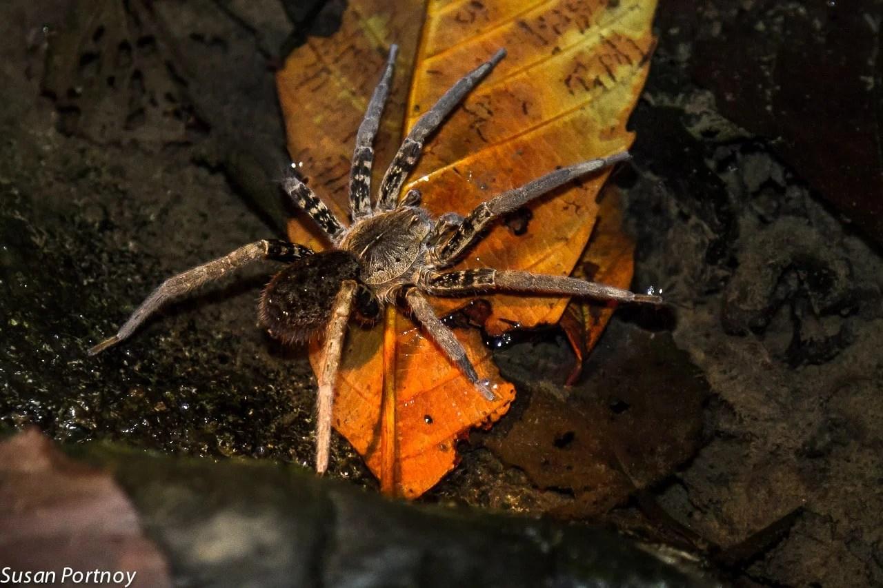wolf spider in Costa Rica