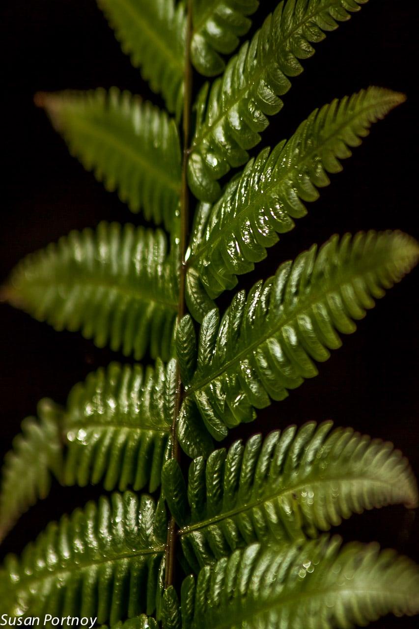 Sunlight falls on a fern in Costa Rica