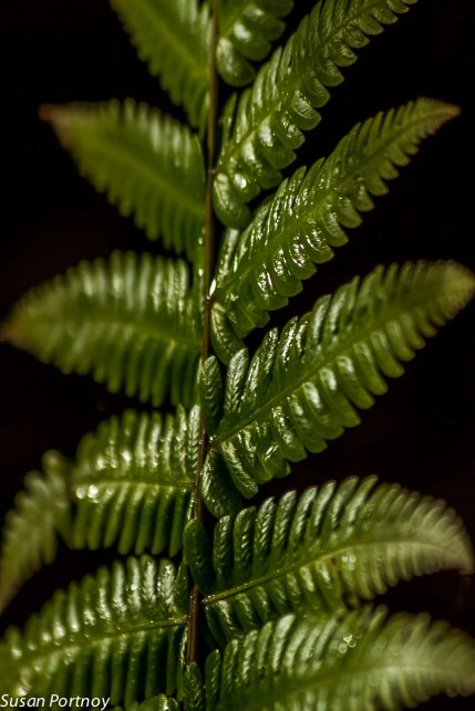Sunlight falls on a fern in Costa Rica