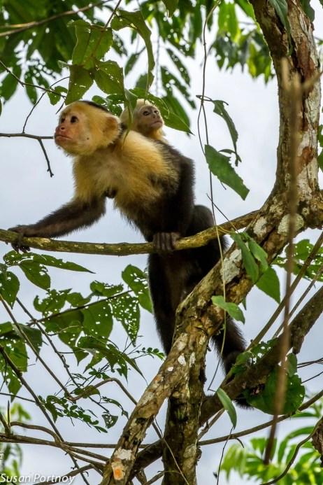 2 White-faced monkeys in Costa Rica