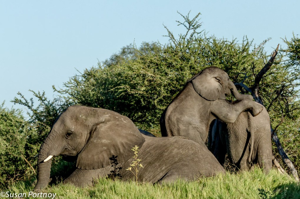 Early one morning we came upon herd of elephant that were lounging in some grass behind a large clump of trees. The younger of the group seemed to be practicing circus tricks.