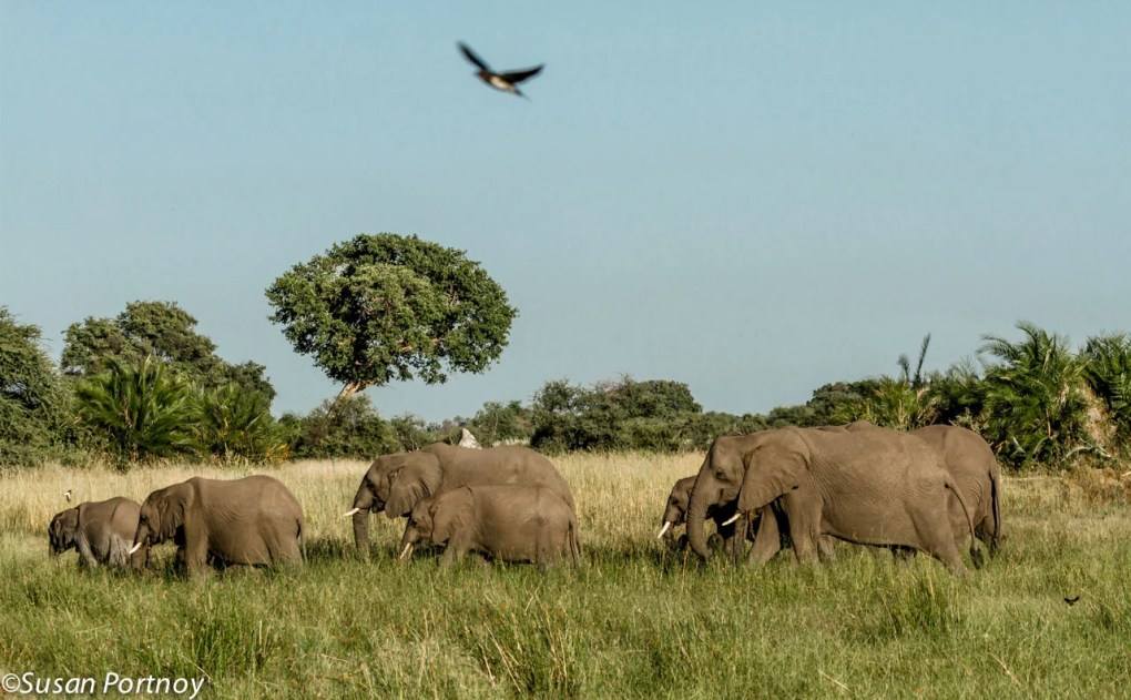 Seven elephants of a herd over forty strong. We ran into this pachyderm caravan on my last day in Botswana.