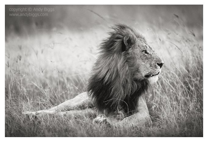 The King by Andy Biggs- Masai Mara, Kenya