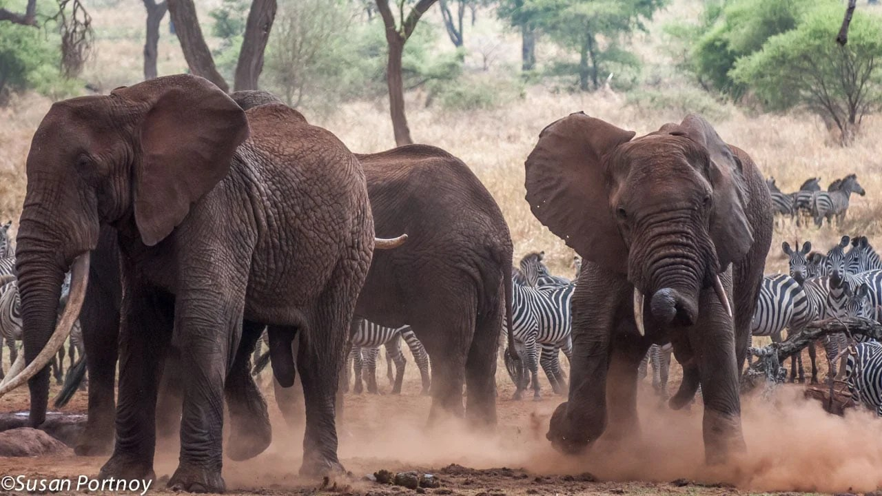 A large herd of bull elephants around a watering hole in Tanzania get into a bit of a scuffle as they each vie for dominance