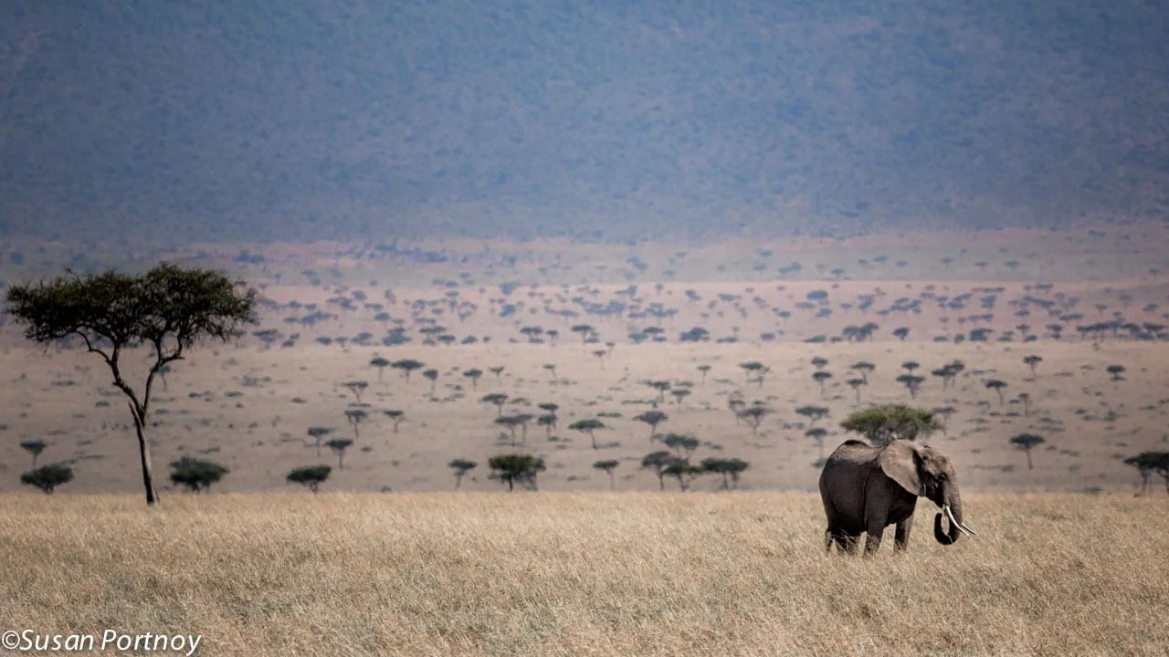 While the elephant is the largest land mammal on the planet, this one is still dwarfed by the sheer vastness of the Masai Mara in Kenya