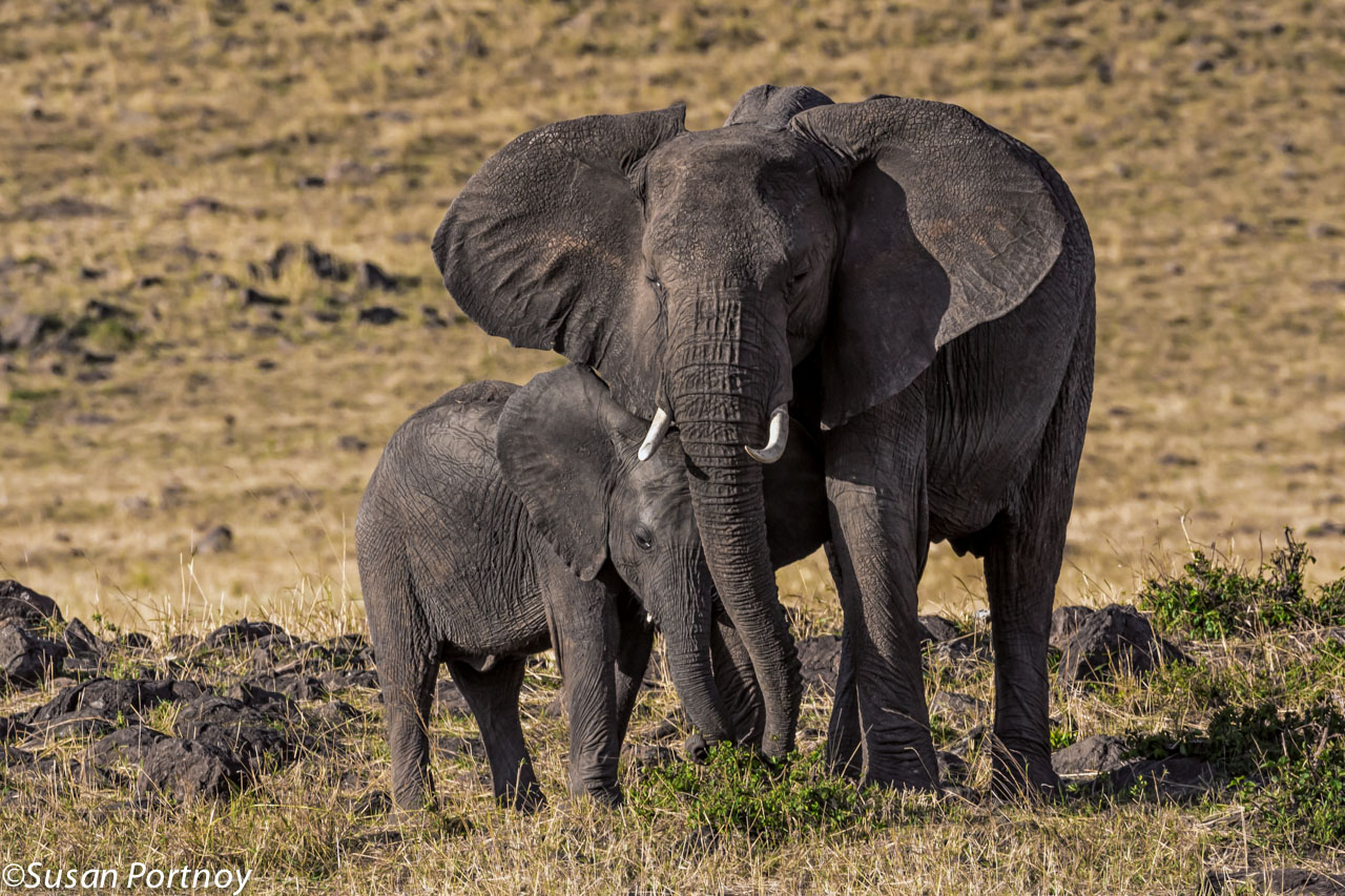 A calf snuggles next to her mother while grazing on the Masai Mara.