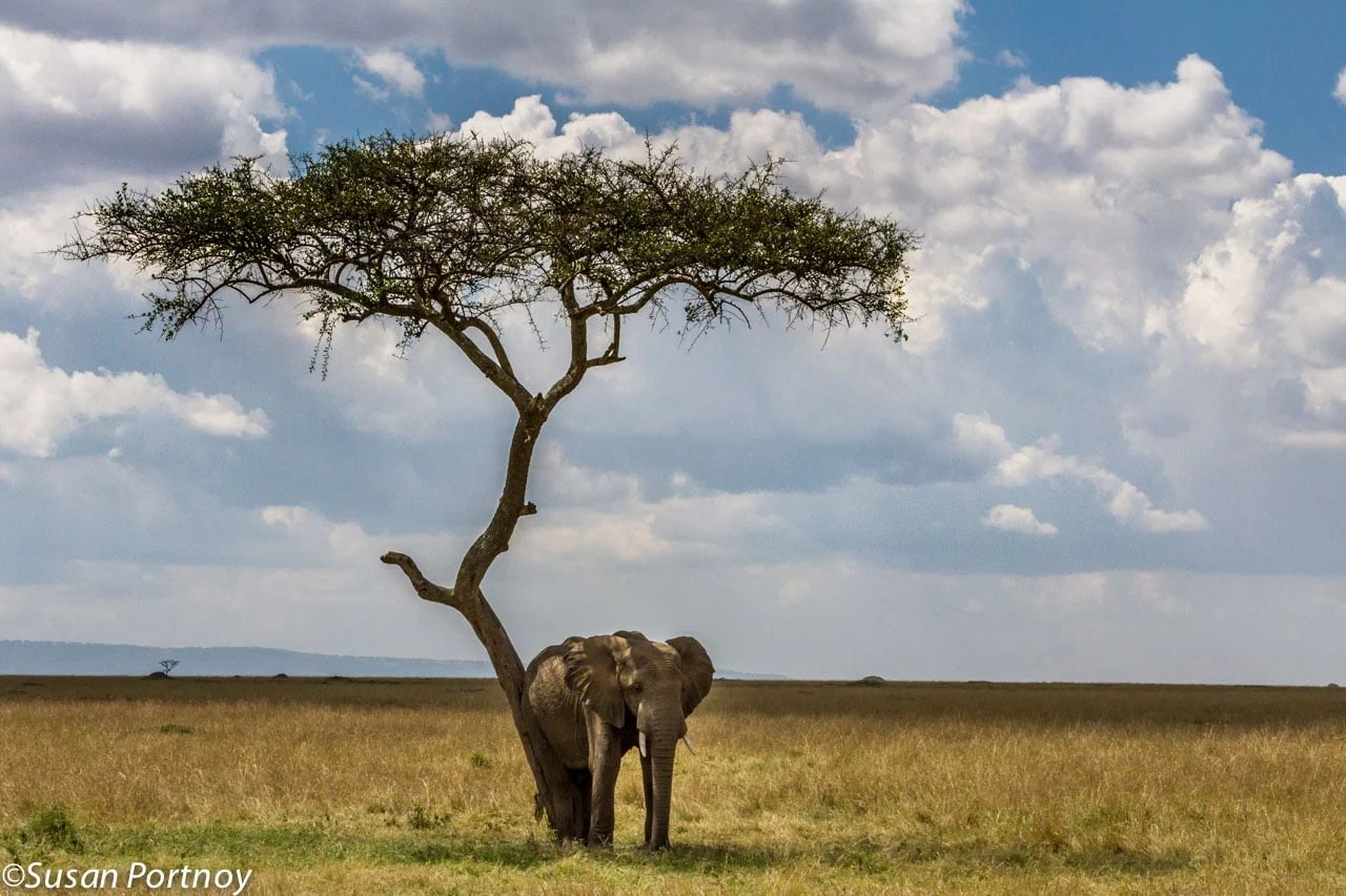 With no other trees for miles around, this elephant found the perfect place to rest his bum while taking a siesta in the afternoon.