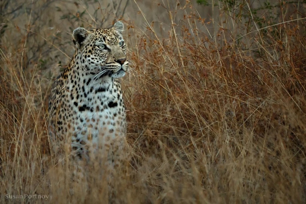 A leopard in the grass