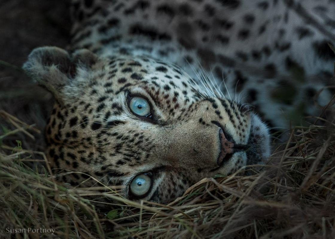Leopard lying down in the Timbavati Game Reserve, South Africa