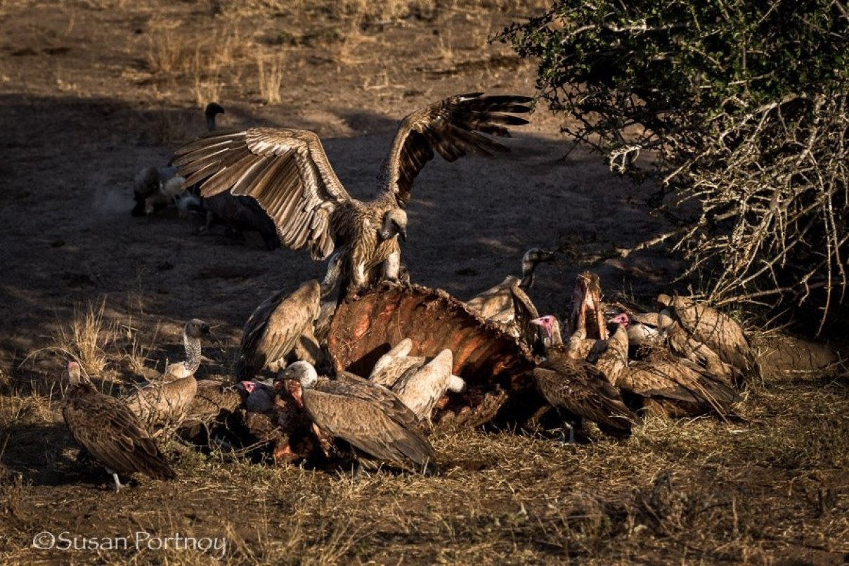 Vultures on a buffalo carcas in Timbavati, South AFrica