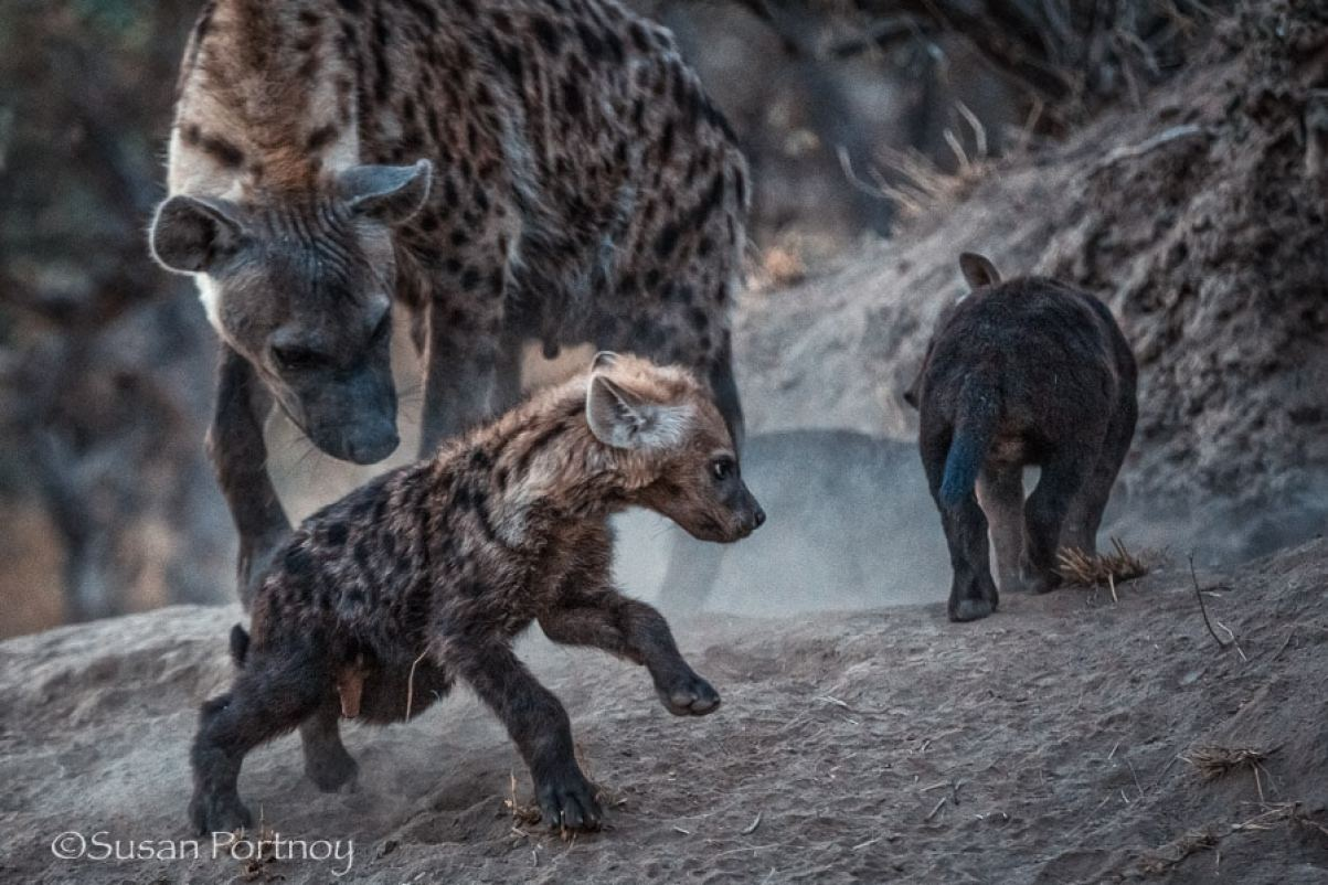 Hyena and hyena pup in Timbavati, South AFrica