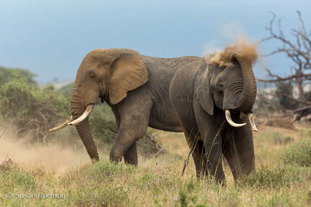 Elephant dusts himself in Amboseli, Kenya