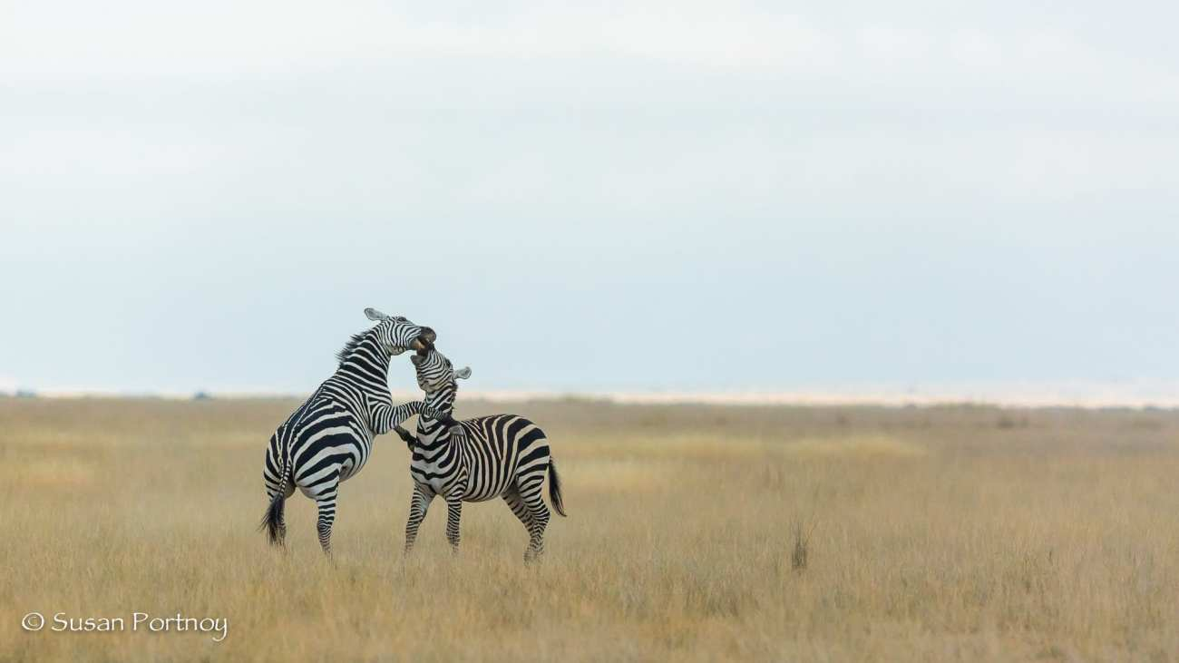 Two zebra fight in Amboseli, Kenya
