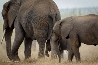 Juvenile elephants follow an adult in Amboseli, Kenya