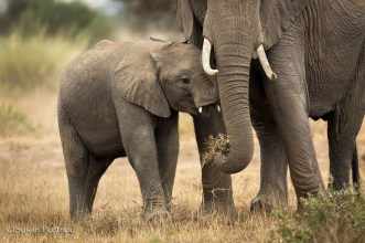 Baby elephant with mother in Amboseli, Kenya