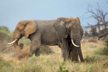 Elephants dusting themselves in Amboseli, Kenya