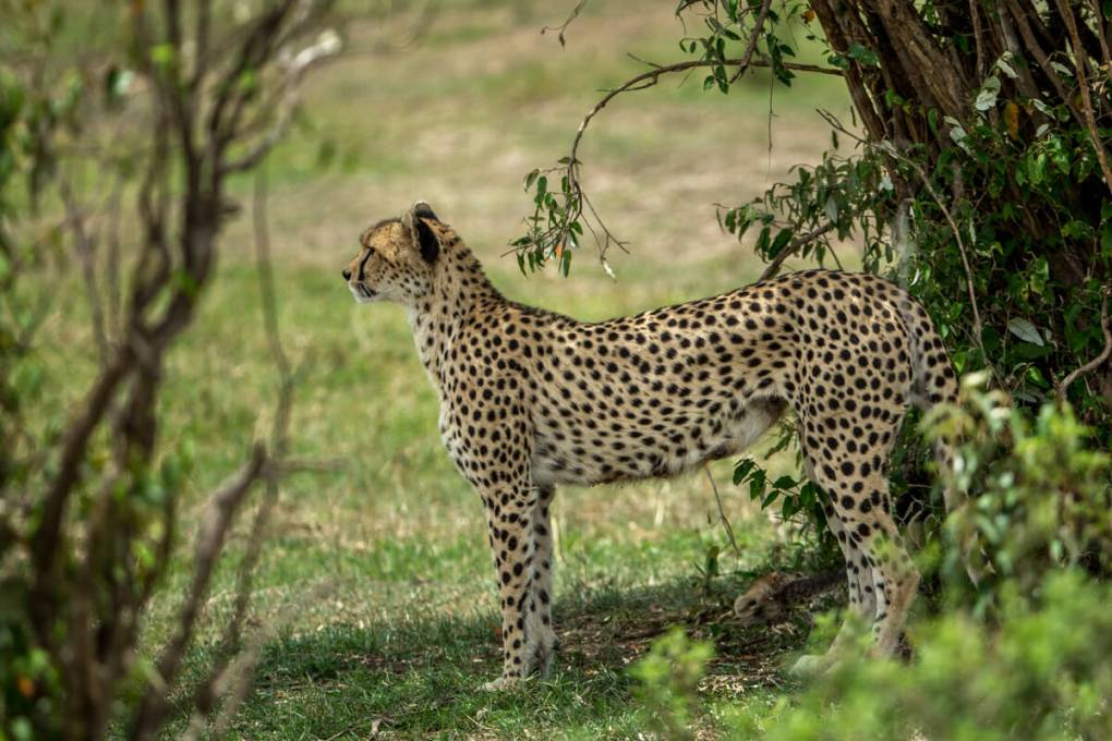 Momma cheetah sees something we can't in the distance. ---What do Cheetah's Eat
