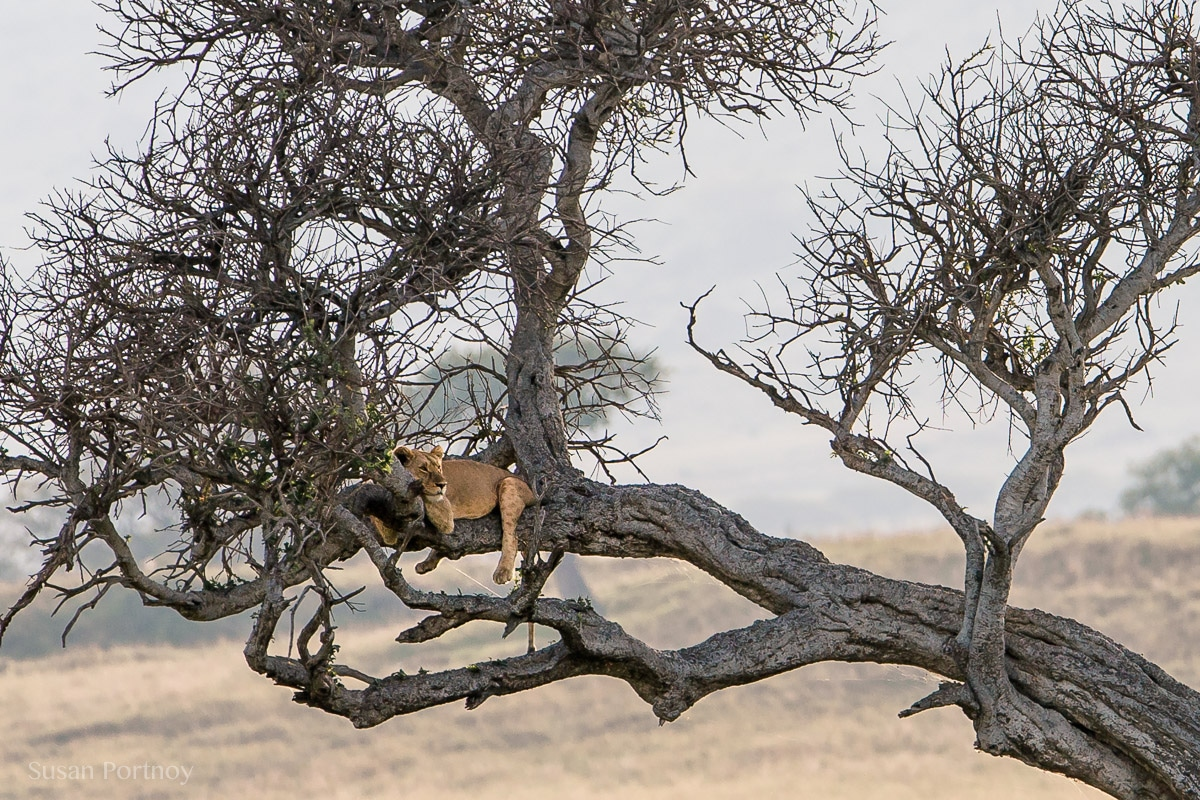 Lion lying in a tree in the Masai Mara, Kenya, The Insatiable Traveler