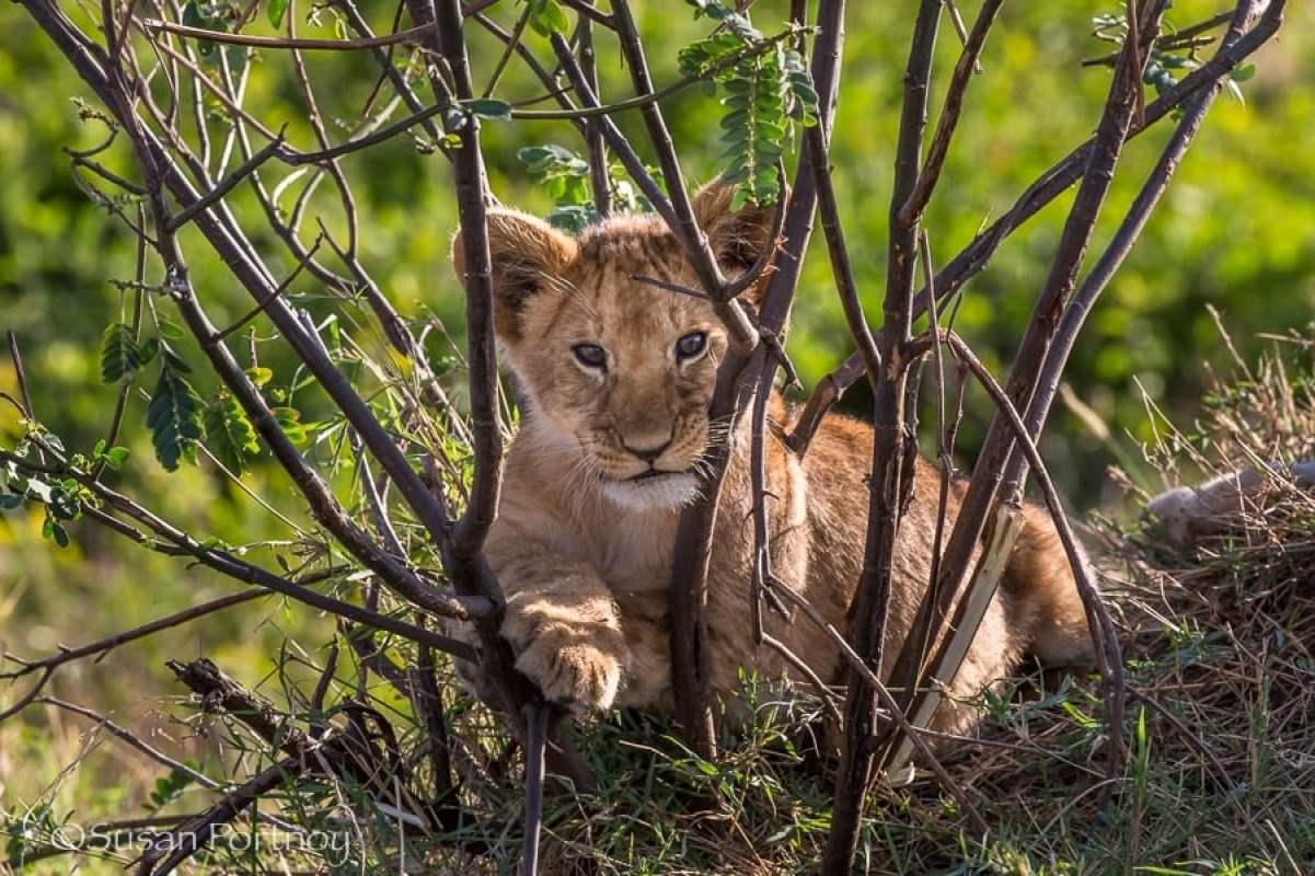 lion cub in a bush in Masai Mara, Kenya