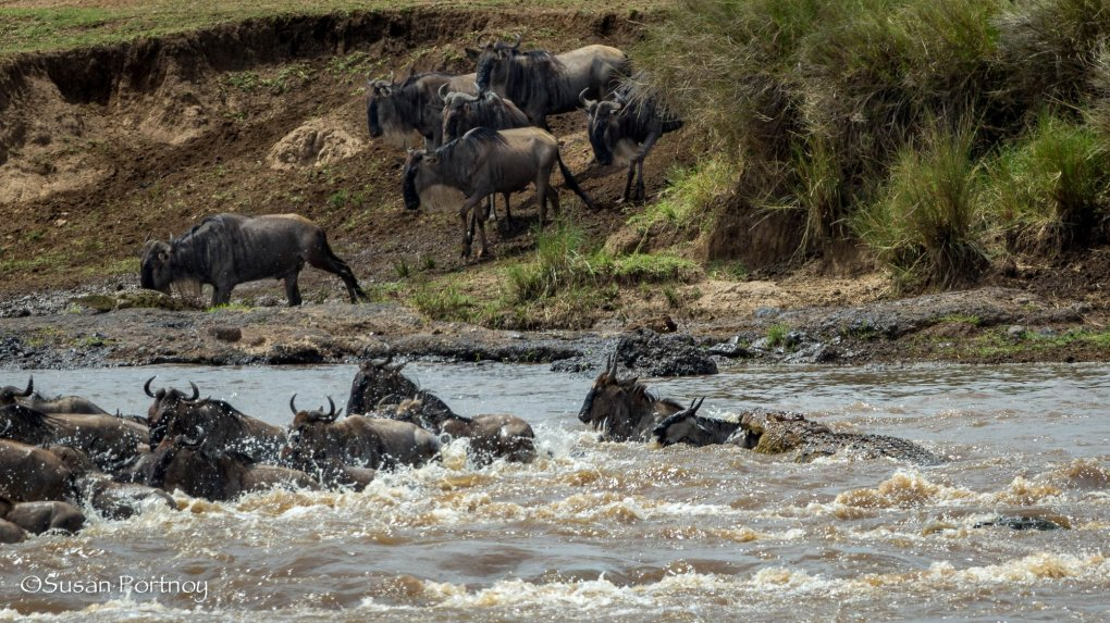 Crocodile attacks - Wildebeest crossing in the Masai Mara