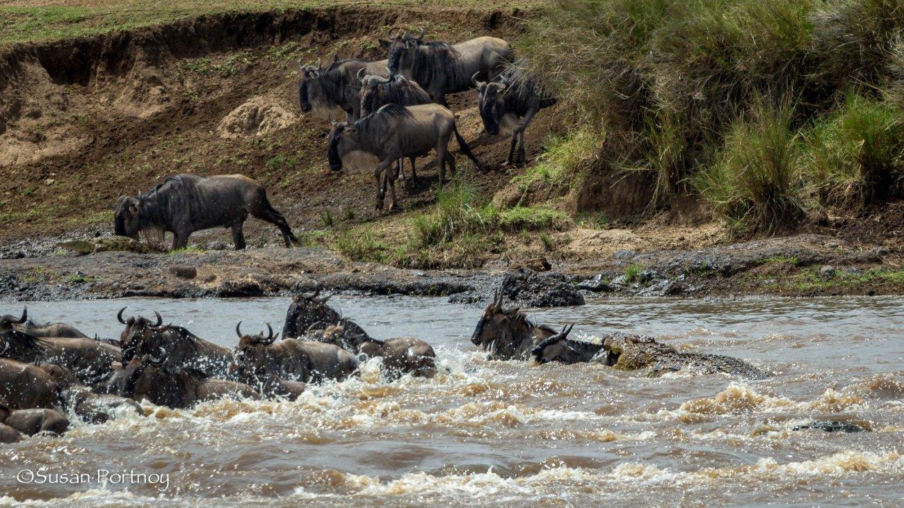 Crocodile attacks - Wildebeest crossing in the Masai Mara