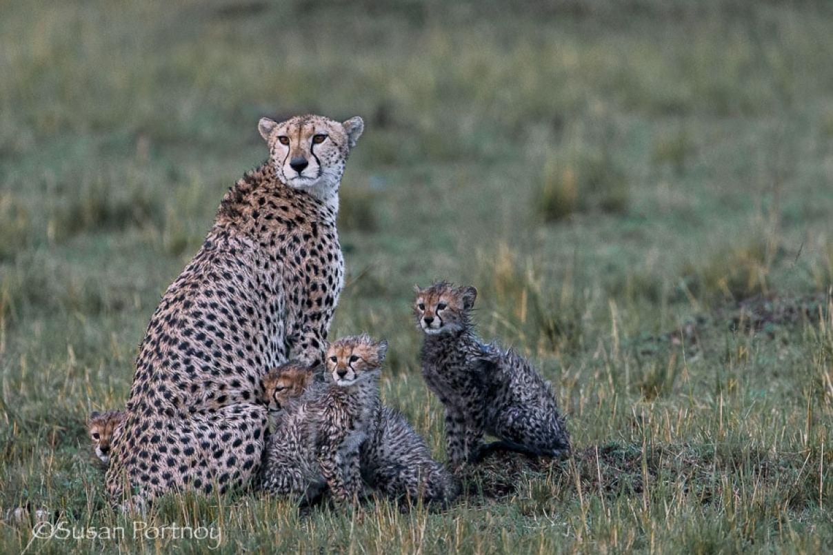 photographing-cheetah-and-cubs-in-the-masai-mara-201-2