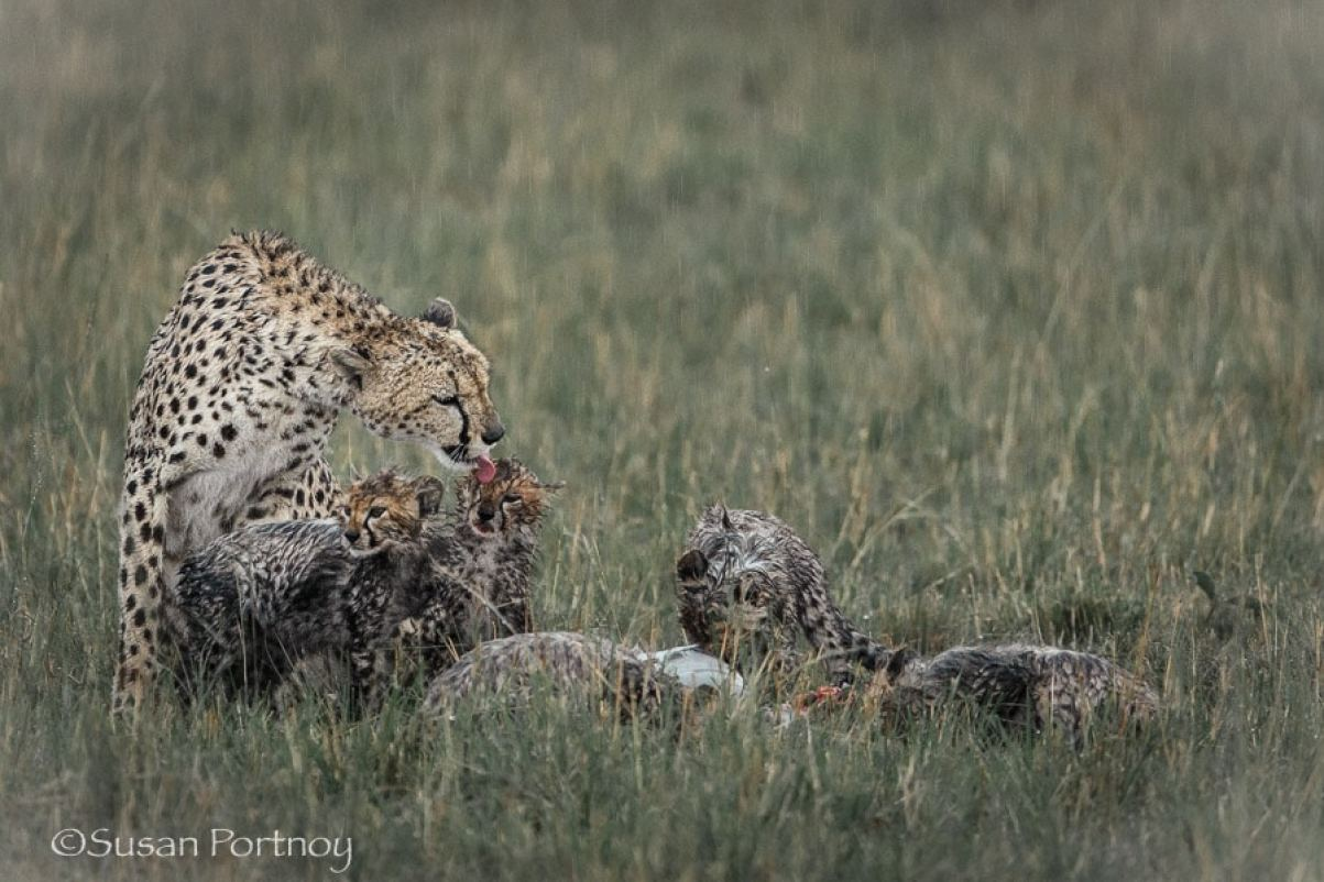 photographing-cheetah-and-cubs-in-the-masai-mara-201