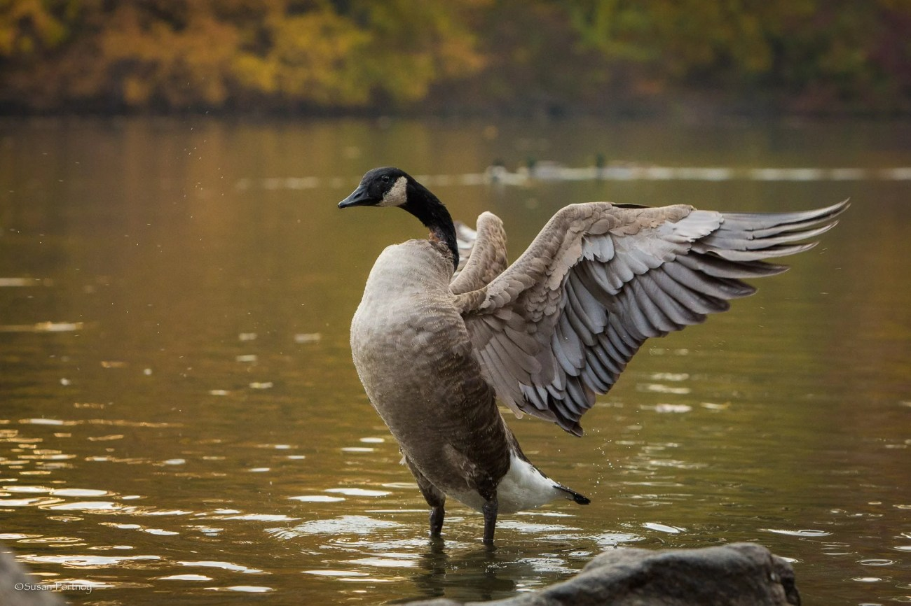 Canadian Goose stretches its wings in Central Park