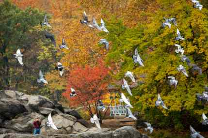 Pigeons fly in front of the Hernshead on the Lake in Central Park, NYC