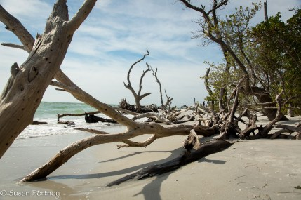 The rest of the gang went shelling on this small island called Cayo Costa. I however, was transfixed by all the dead trees. They reminded me of a shipwreck or the skeleton of a whale.