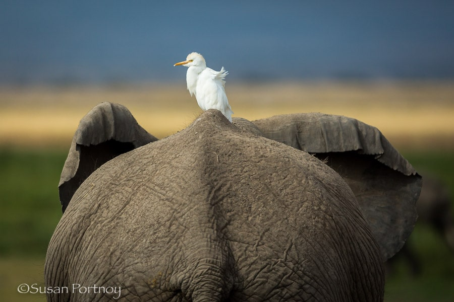 Elephant butt and Egret in Amboseli, Kenya