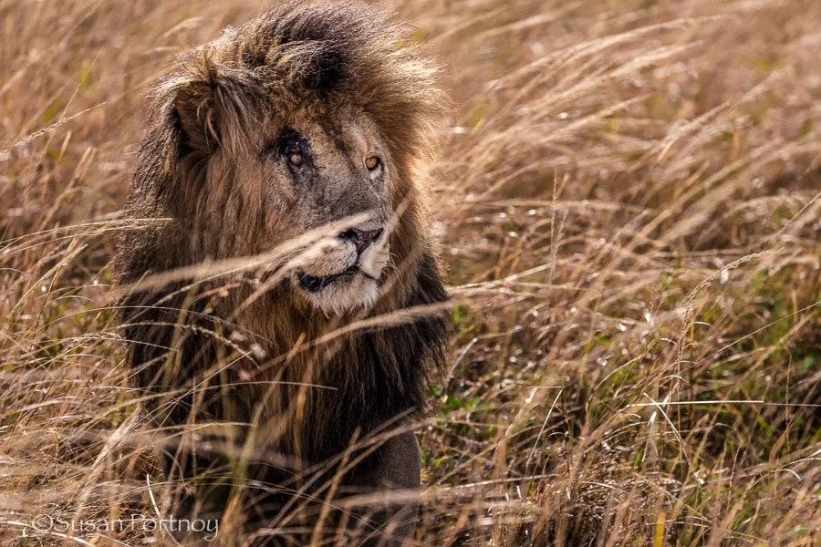 Scarface the Lion: The Masai Mara Legend