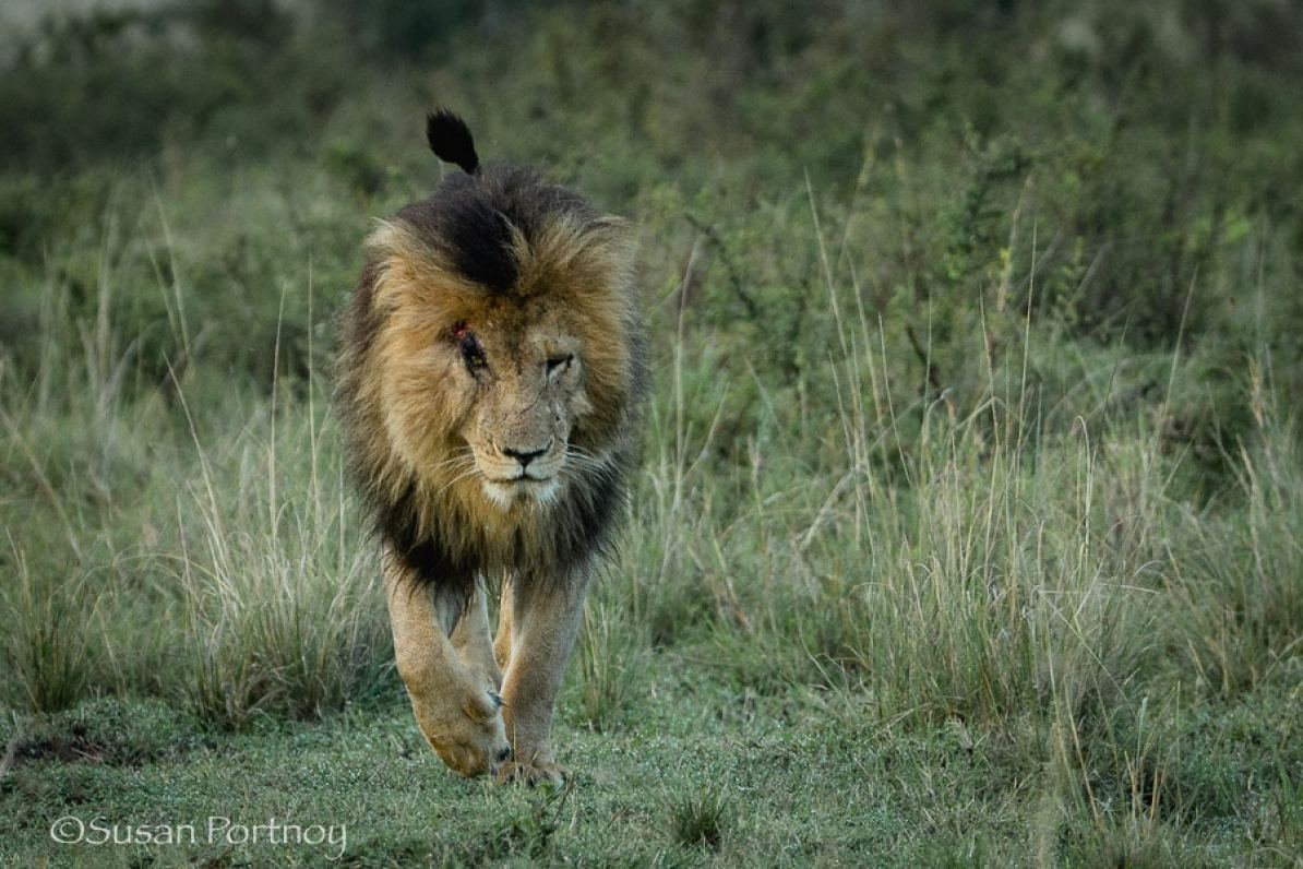 Photographing Scarface the lion in the Masai Mara