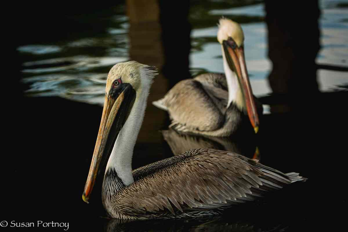 Two pelicans swim under a dock in Florida