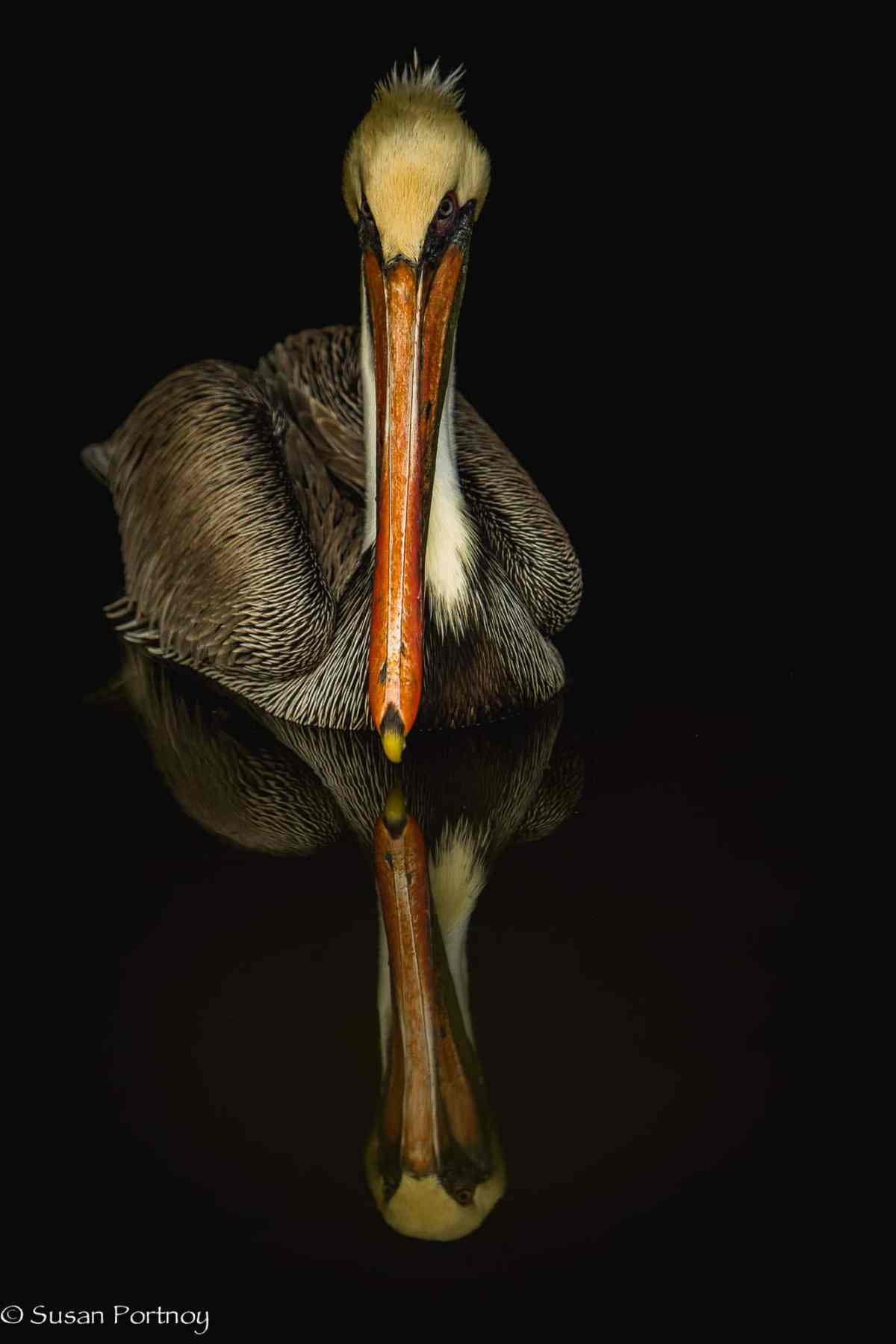 Pelican and pelican reflection