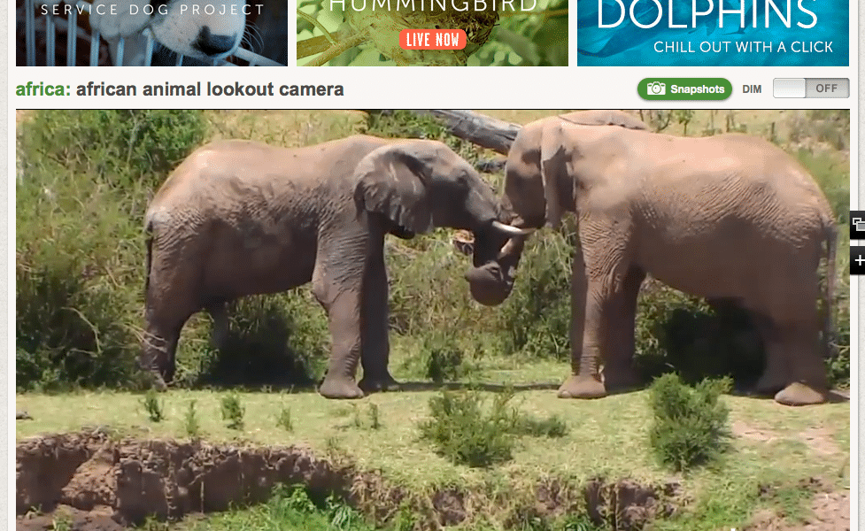 Two elephant play next to a river on the African Lookout camera on explore.org. - From a highlight clip.