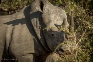 White Rhino in Timbavati, South Africa